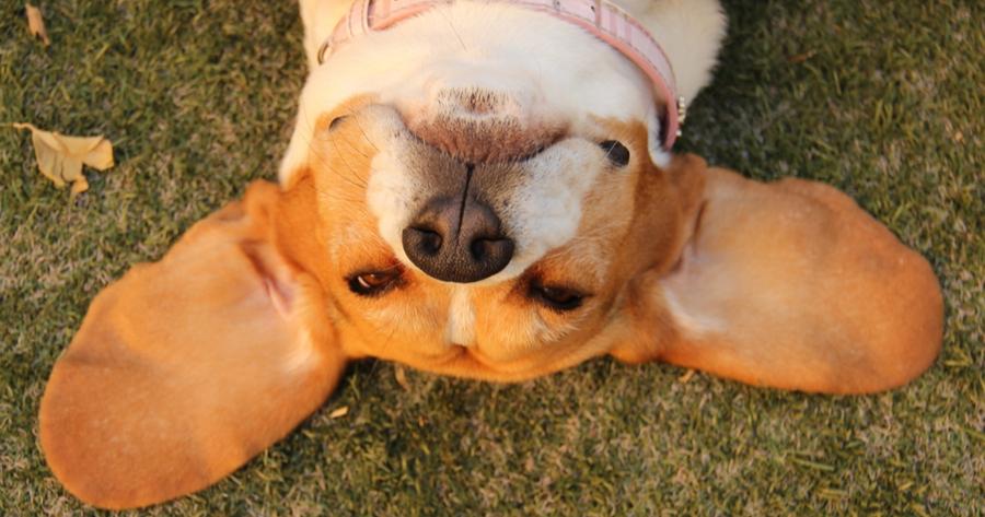 uszy-psa
