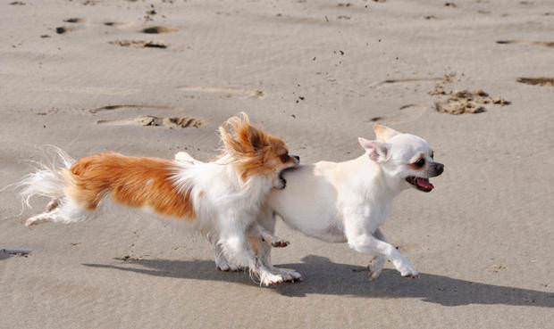 fighting chihuahuas on the beach