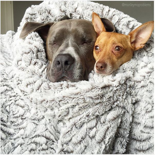 pitbull y chihuahua durmiendo juntos
