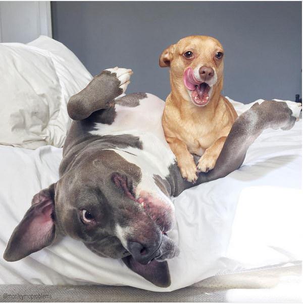 killer chihuahua junto a pitbull