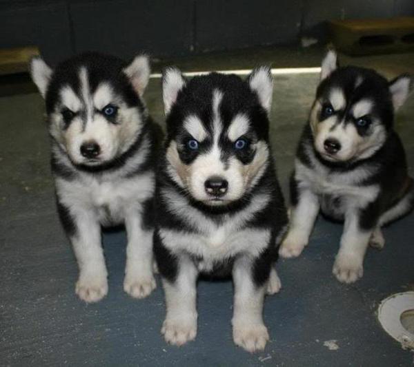 huskies enfadados