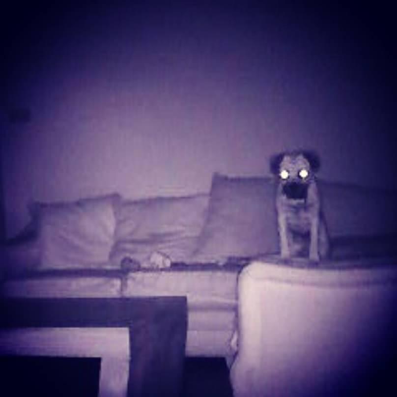 pug viendo la tele solo en casa
