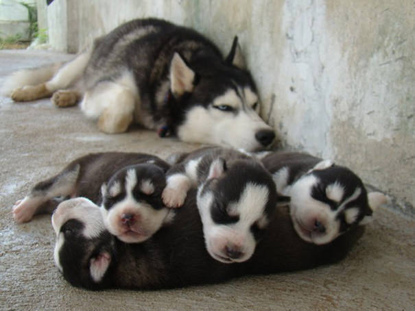 huskys cachorros con su mama