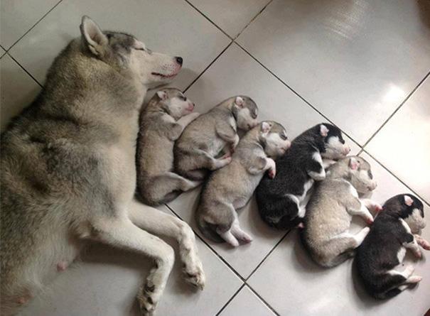 camada de husky recien nacidos durmiendo con su madre