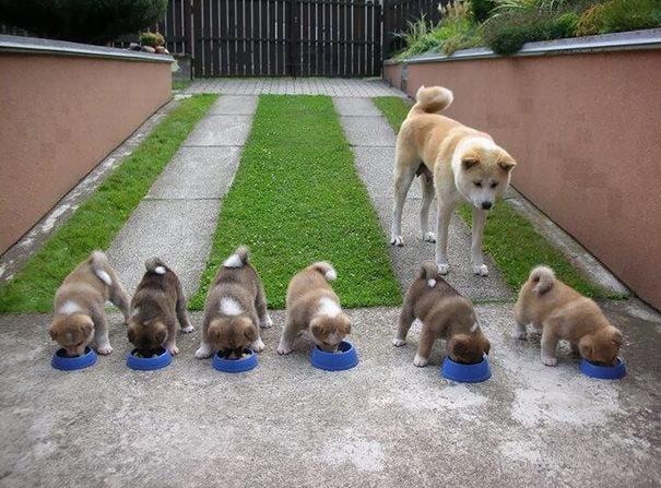 shiba inu dando de comer a sus cachorros
