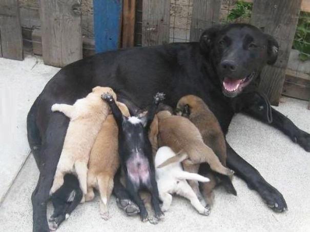 perra cruzada amamantando perritos