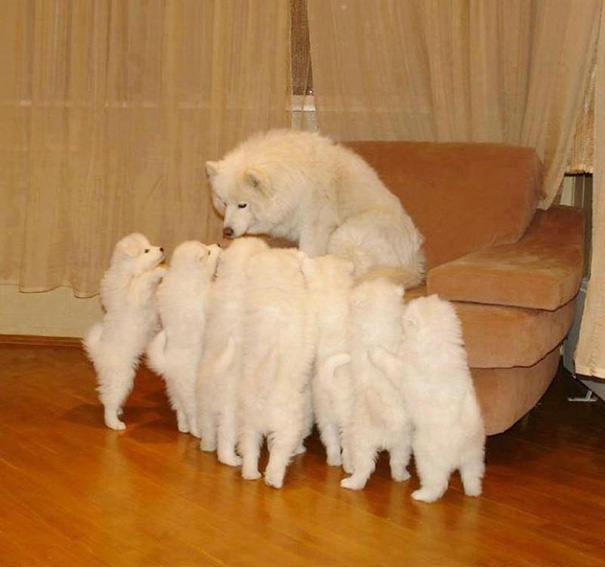 mama con samoyedos recien nacidos