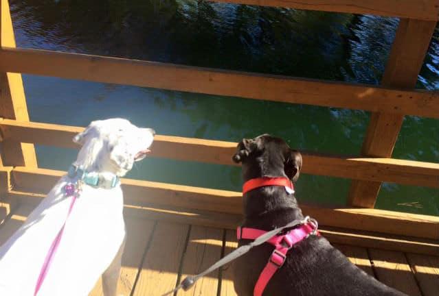 perras mirando el agua