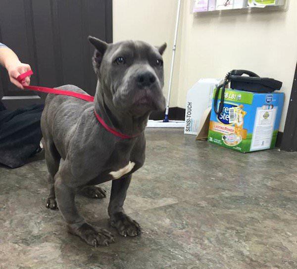 pitbull deforme veterinarioa