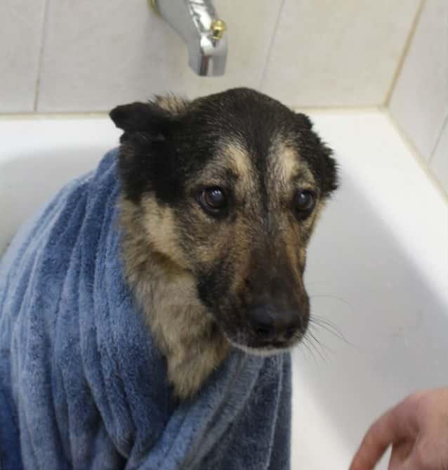 perro despues del baño