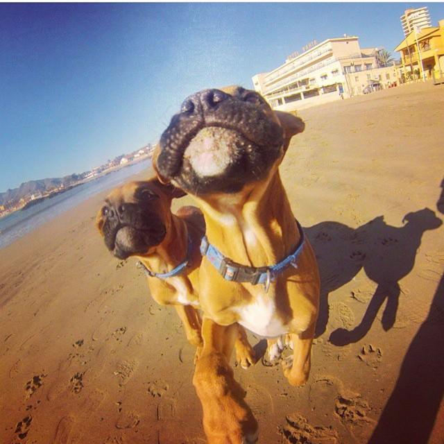 Boxers en la playa peores perros
