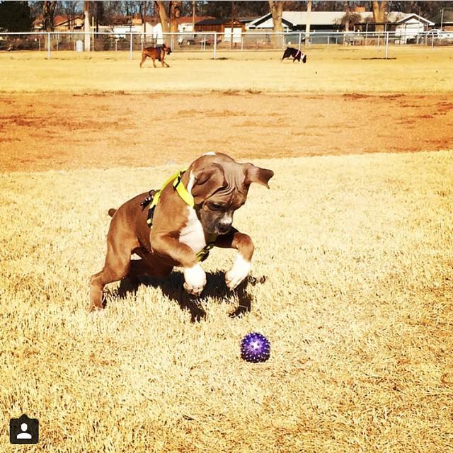 Boxer en el parque