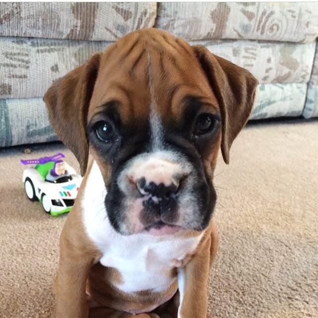 Boxer cachorro mirada