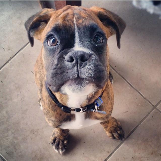Boxer tierno boxer peor perro