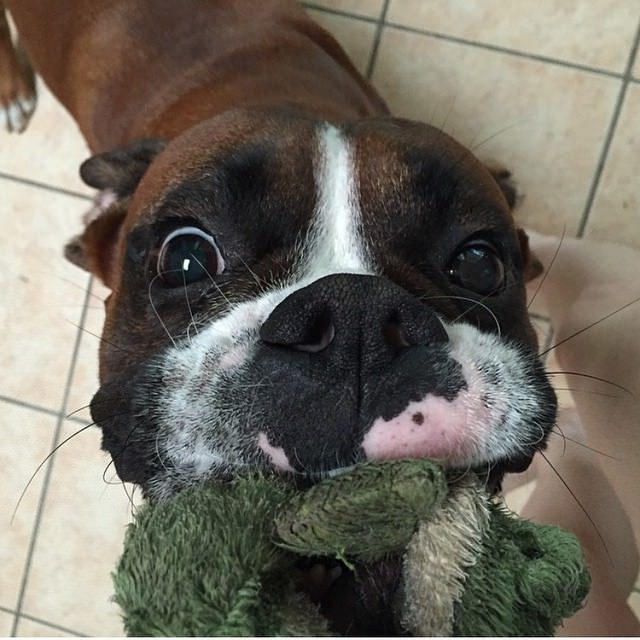 peor perro boxer