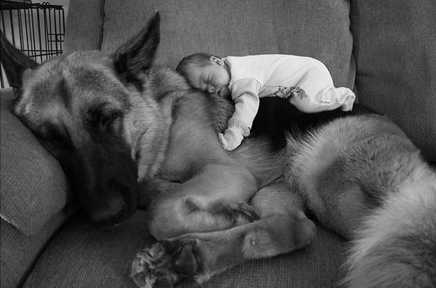 bebe duerme encima de pastor aleman