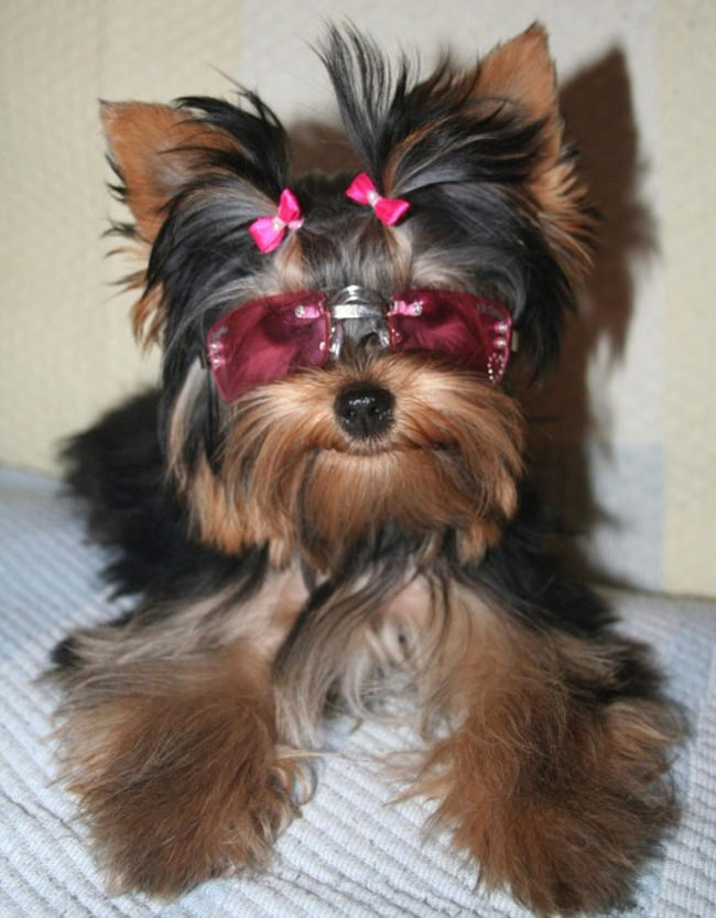 perro disfraz britney spears