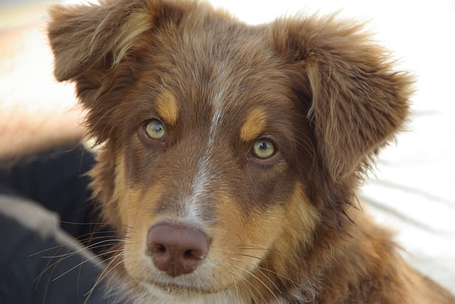 ojos verdes perro