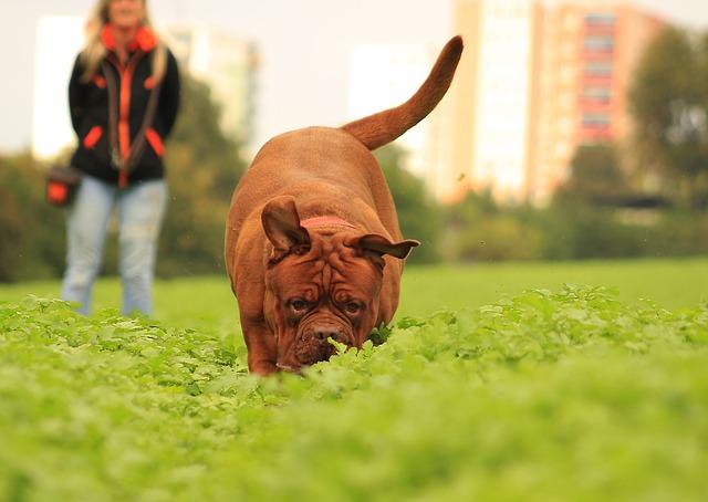 perro gordo paseo