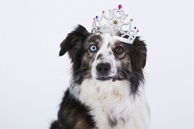 perro husky disfrazado reina
