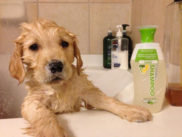 perrito mojado dentro de la bañera