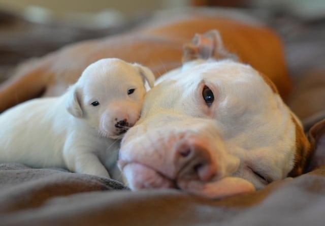 kilo pitbull blanco