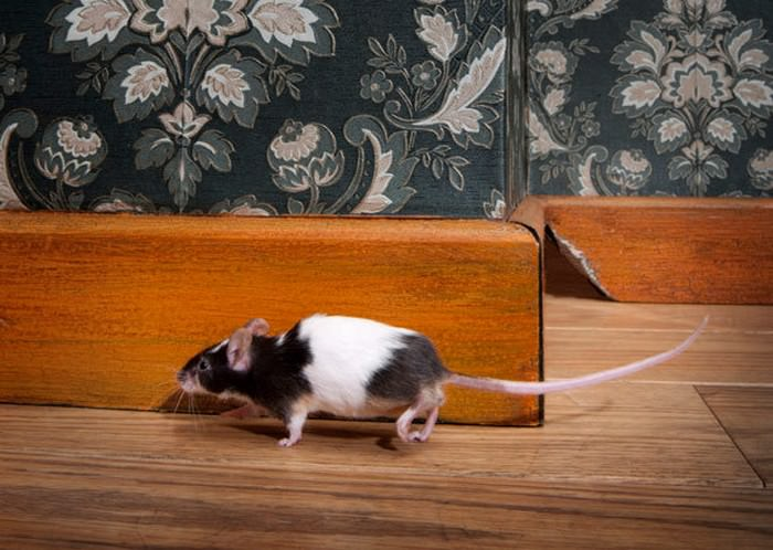 gato cazando ratones