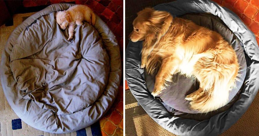golden cachorro golden adulto