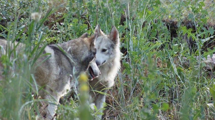 perros lobos enamorados wolf sanctuary