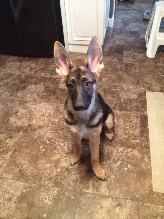 pastor aleman cachorro orejas grandes puntiagudas