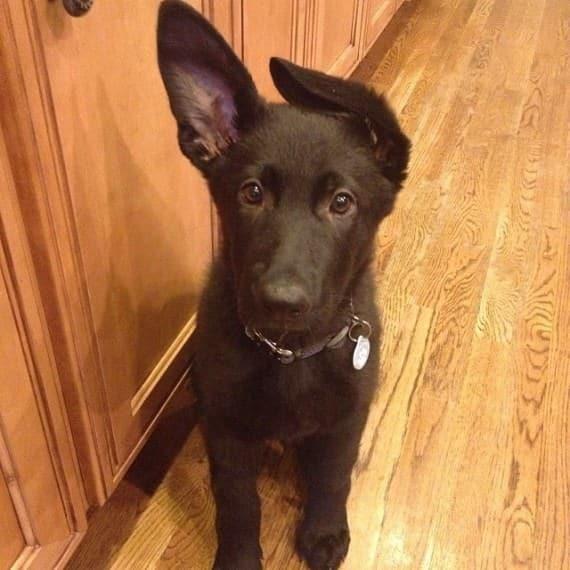 cachorro de pastro negro orejas puntiagudas