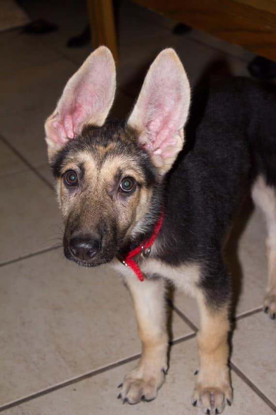 cachorro de pastor aleman foto casera