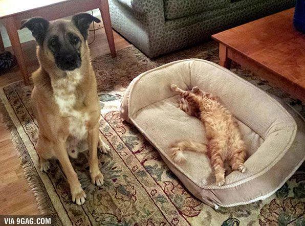gato roba cama pastor aleman