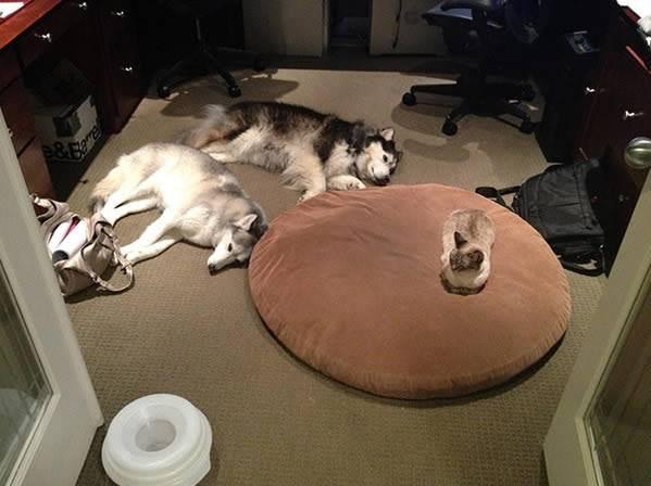 husky atacados por gato