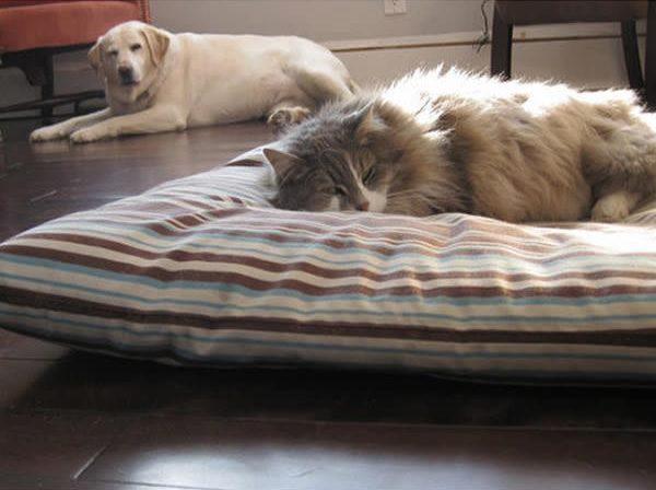 golden y gato enfadados