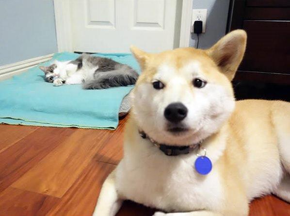 gato roba cama perro gigante