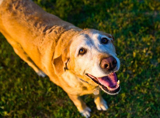 perro mayor mirada