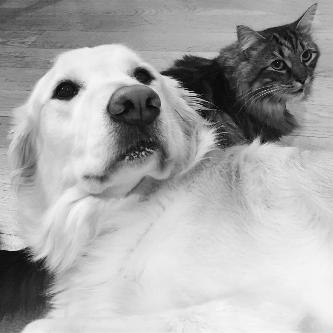 perro golden y gato negro felices