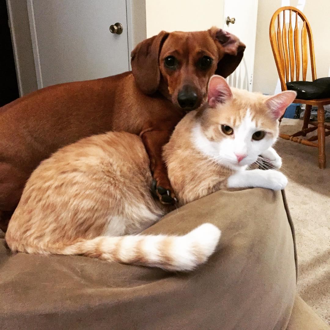 teckel protegiendo a un gato