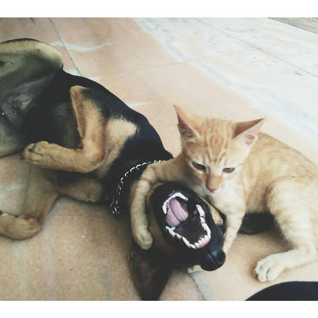gato jugando con pastor aleman
