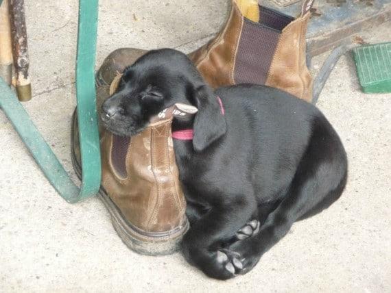 cachorro durmiendo zapato