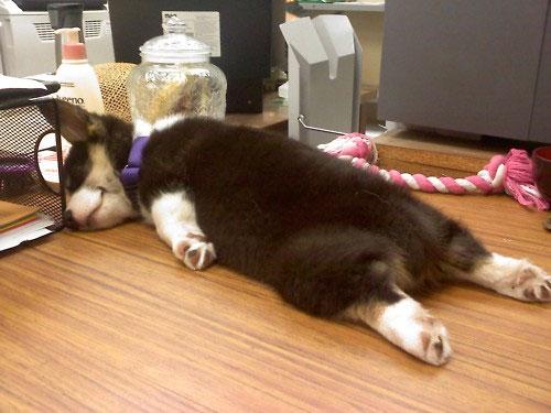 cachorro durmiendo en el trabajo