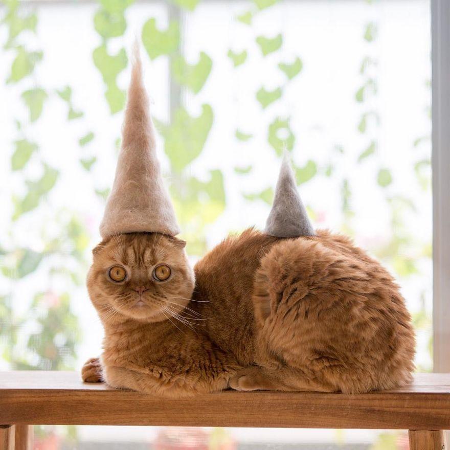 gato tigre naranja sombreros