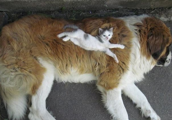 perro gigante con gato