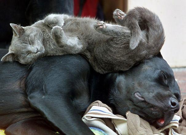 gato marmota durmiendo con perro