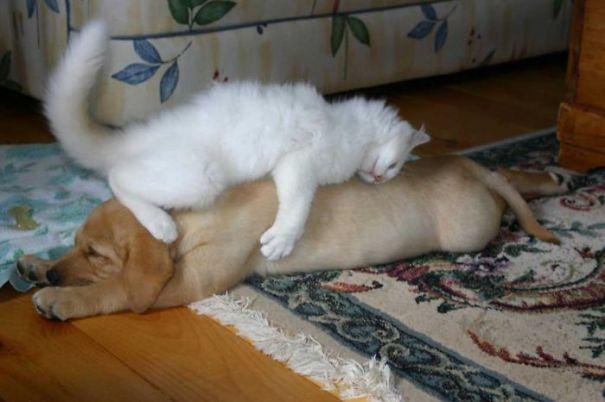 gato enorme durmiendo sobre perro cachorro