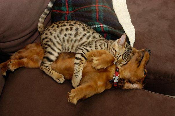 gato leopado durmiendo con perro