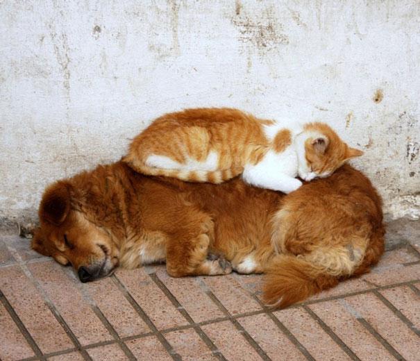 gato naranja durmiendo con perro