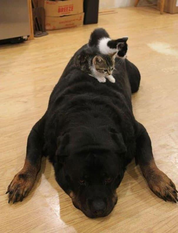 rottweiler gigante durmiendo con dos gatitos