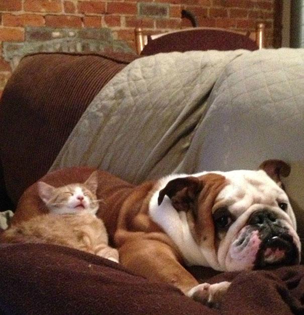 gatito durmiendo con bulldog